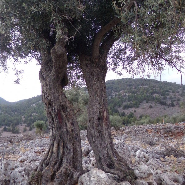 beautiful-olive-trees-crete-2