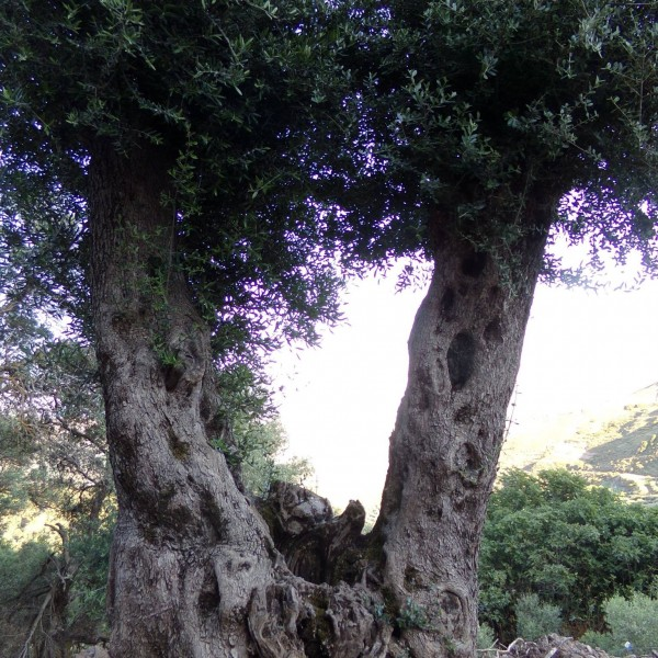 beautiful-olive-trees-crete-3