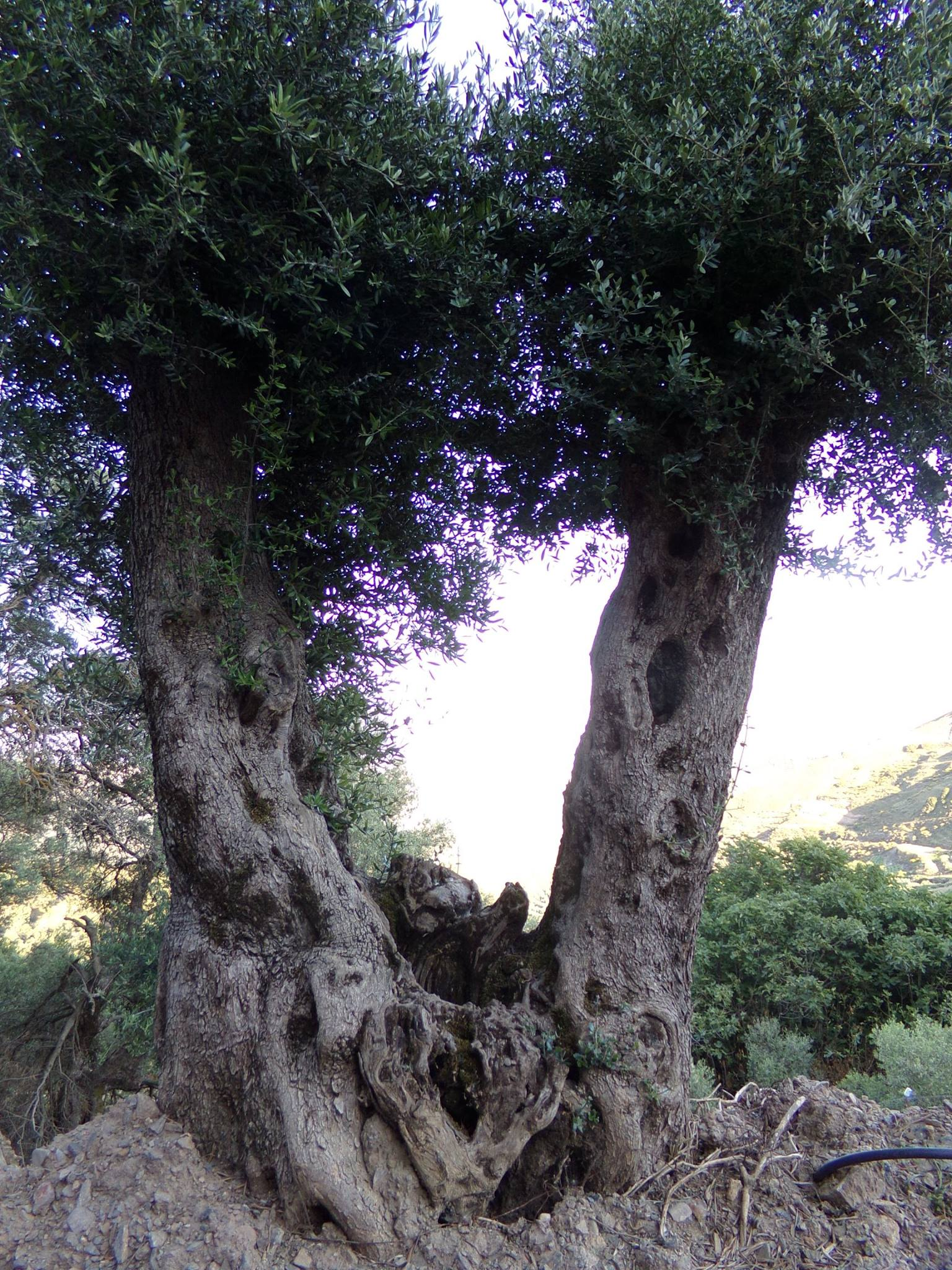 Which Trees Are Used To Make Paper: Beautiful Olive Trees Figures