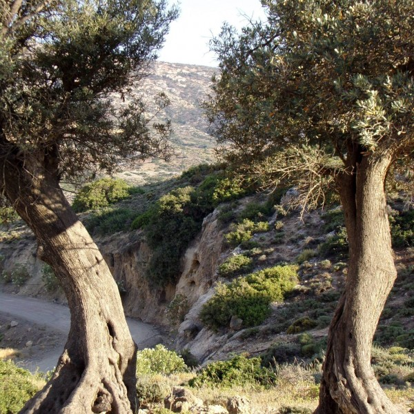 beautiful-olive-trees-crete-4